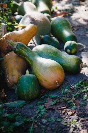 green and orange pumpkins of different shapes, bottle lie in a heap in the garden. In a dark tone. Thanksgiving concept