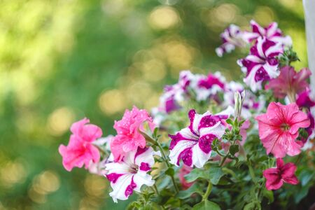 petunia flowers red, pink purple, white flowers in a flower pot on the balcony in the sunlight
