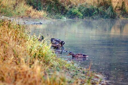 Landscape ducks swim on autumn yellow-orange-red forest lake.