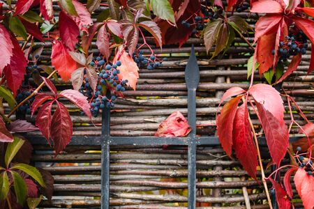 bright red autumn leaves and berries of blue wild grapes growing on the fence, juicy background, copy space.