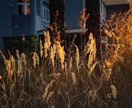spikelets in the sunset evening light. Landscape, close-up. Warm evening atmosphere, soft focus, copy space