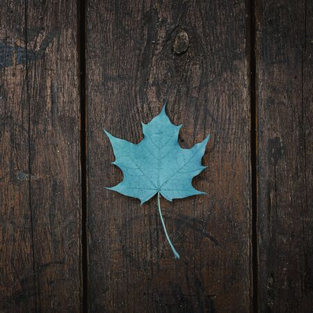 Blue fallen maple leaf lies on a dark wooden old background. Save the space. View from above.