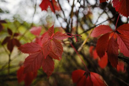 bright red autumn leaves of wild grapes in the forest in blur, lush background, copy space.