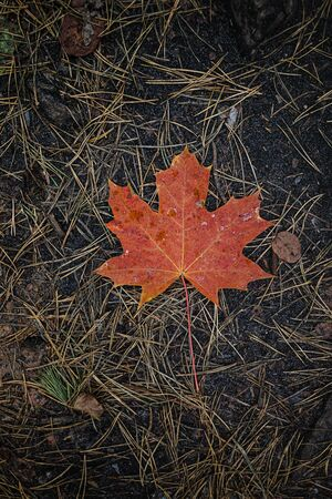 The red-orange fallen maple leaf lies on dark ground with pine needles in the forest. Save the space. View from above 版權商用圖片