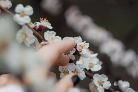 Apricot flowers on a tree, in the sunlight. Close-up. Selective focus. Blur . Moody toning, trend