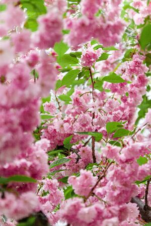 Background from pink sakura flowers in bloom on a tree in the sunlight. close-up, selective focus, blur. Copy space.
