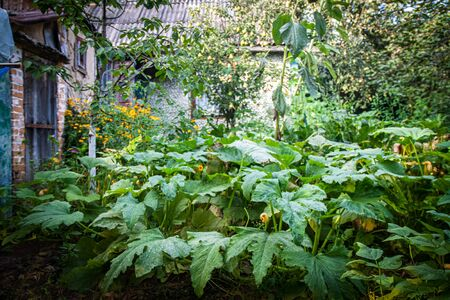 Large thickets and leaves of squash and pumpkin in the garden in front of the house. Фото со стока