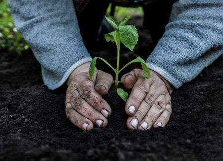 cropped female elderly hands plant a young plant of tomato seedlings in the ground. Concept, gardening, protection of young plants Фото со стока