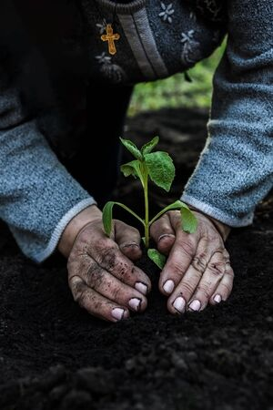 circumcised elderly women, with a religious Catholic-Christian cross, hands plant a young plant of tomato seedlings in the ground. Concept, gardening, protection of young plants