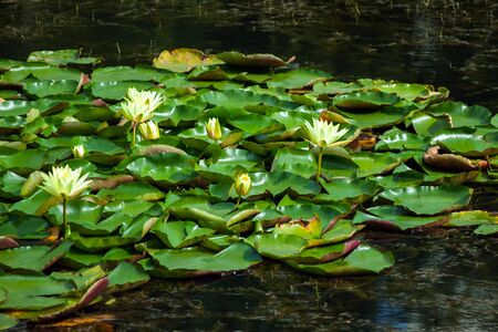 Landscape with white and yellow water lilies on the lake on a sunny day. Ukraine, Kiev.