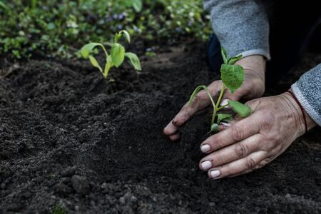 cropped female elderly hands plant a young plant of tomato seedlings in the ground. Concept, gardening, protection of young plants.