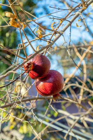 Ripe juicy burst pomegranates on a tree in a Turkish village. Gardening