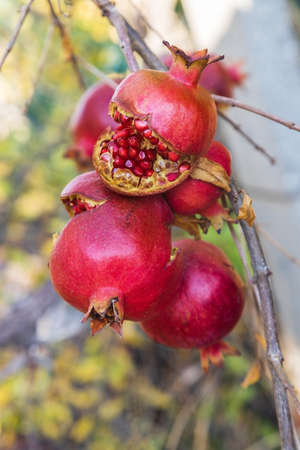Ripe juicy burst pomegranates on a tree in a Turkish village. Gardening