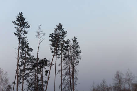 Dramatic landscape. Tall pines and spruces against a foggy autumn sky 免版税图像