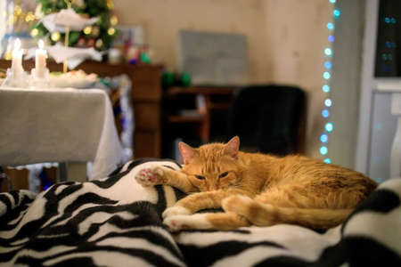 Fluffy ginger cat sleeps on a bedspread against the background of a christmas tree and a festive table