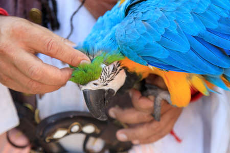 a cut arm strokes scratches behind the ear of a macaw parrot 免版税图像