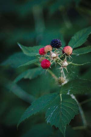 Black raspberry Rubus occidentalis of berries ripening closeup