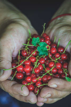 harvest of juicy fresh red currant in female hands, close-up 免版税图像