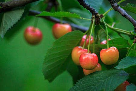 Fresh natural Yellow Cherry fruit branch. Fresh natural healthy. Yellow rainier cherries on branch