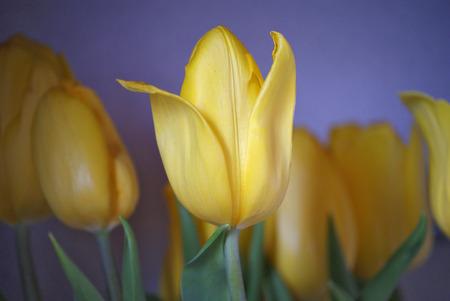 yellow: yellow tulips Stock Photo