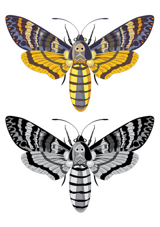 greyscale: deaths head hawk moth