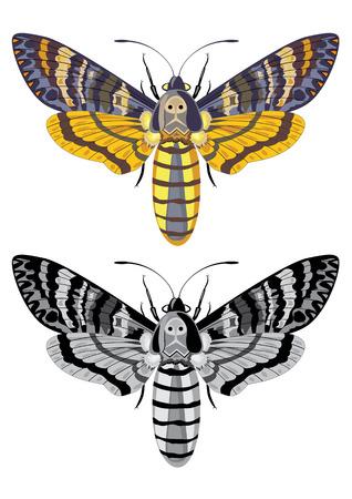 deces: t�te de mort hawk moth Illustration