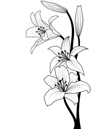 lily flower: vector illustration of lily in black and white colors Illustration