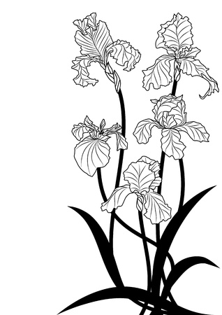 iris flower: illustration of irises in black and white colors Illustration