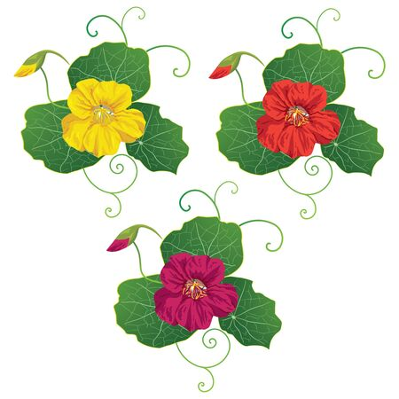 nasturtium: set of the vector illustration with nasturtium Illustration