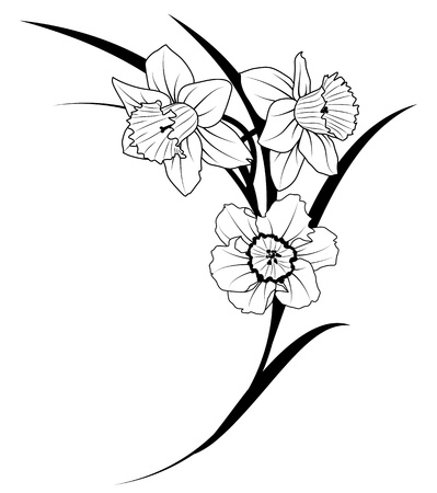 vector illustration of narcissus in black and white colors