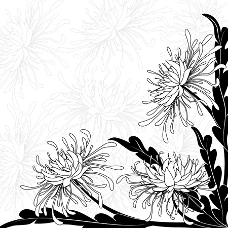Chrysanthemum: chrysanthemum, floral background  in black and white colors