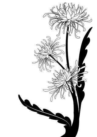 chrysanthemum, floral background  in black and white colors