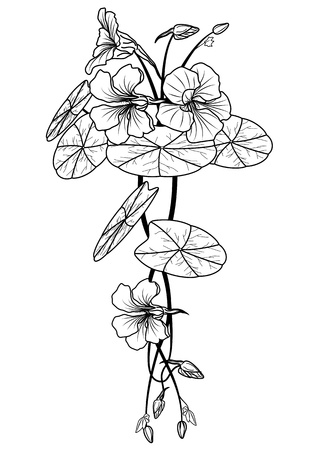 illustration of the nasturtium in black and white colors Stock Vector - 13094333