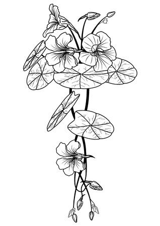 nasturtium: illustration of the nasturtium in black and white colors