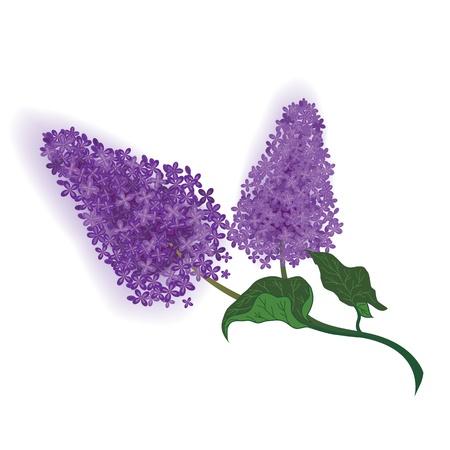 ilustración vectorial de la rama de lilas