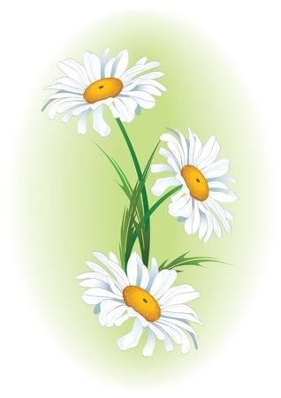 ox eye daisy: vector floral background with the ox-eye daisy