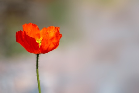 closeup background with flower of the poppy photo