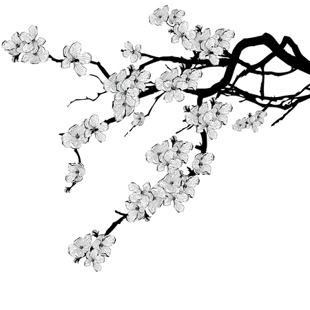cherries: vector illustration of branch of cherry tree in black and white colors