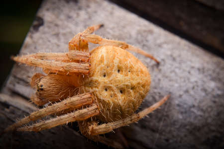 A big yellow spider close up on the wooden