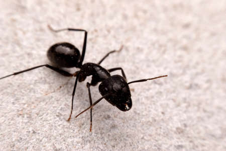 Closeup black ant on the cement ground, macro insect.