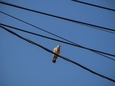 mornings: A white pigeon on the wire in the mornings light.