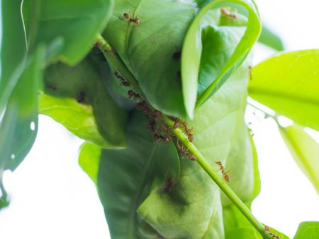 cohere: Red ants is building their home with some leaves