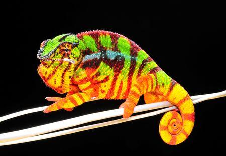 chameleon lizard: Chameleon Pardalis
