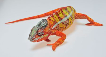 descriptive colour: Panther-Cham�leon - Furcifer pardalis - Madagascar, Reptil, Sauria, Cham�leon, Farbvariante, Regenwald Stock Photo