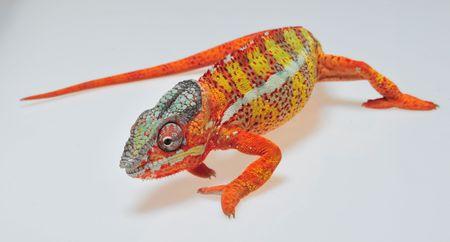 descriptive color: Panther-Chamäleon - Furcifer pardalis - Madagascar, Reptil, Sauria, Chamäleon, Farbvariante, Regenwald Stock Photo