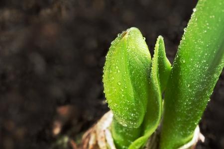 hippeastrum flower: Growing plant - Hippeastrum flower bud  the ground Stock Photo