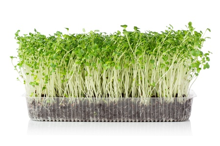 Wachsenden microgreens Standard-Bild - 19714510