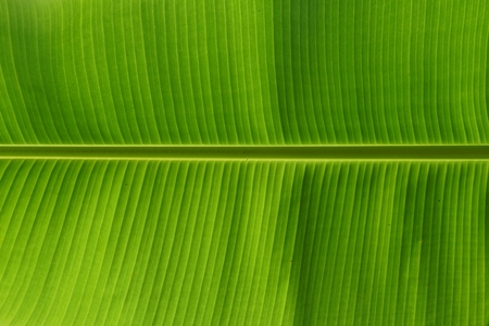 close up showing texture of banana leave photo
