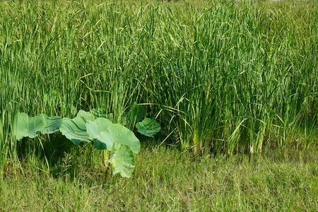 lotus leaves and Typha angustifolia in floating swamp photo