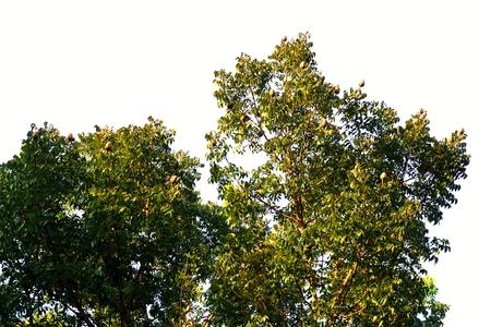 caoba: �rbol de caoba de cerca con la fruta en la parte superior Foto de archivo